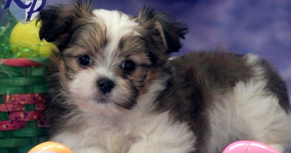 husky yorkie schnauzer yorkie mix for sale bella shih tzu mix 3639