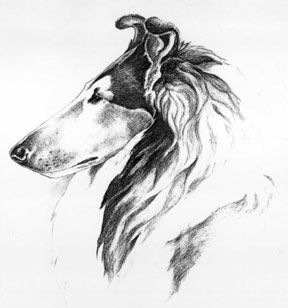Pictures To Show Ideal Collie Rough Head Ears Eyes Muzzle Etc