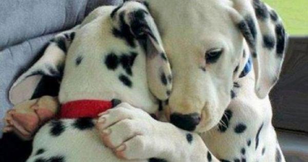 Dalmatian puppy love