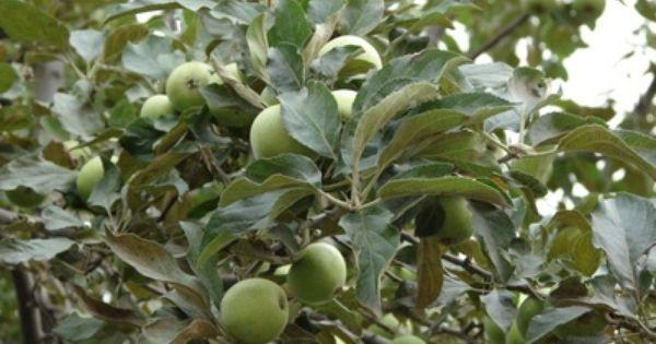 58 best Texas Fruit Trees images on Pinterest