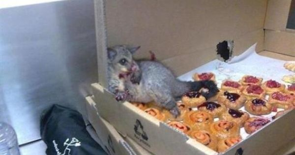 A possum broke into an Australian bakery and ate so many pastries