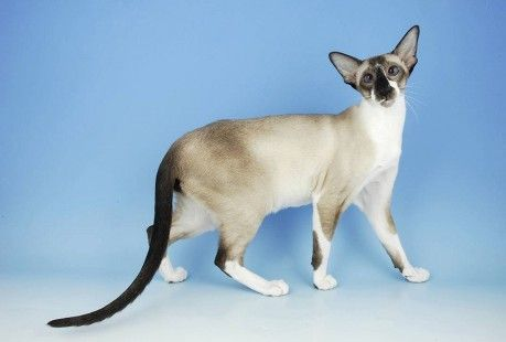 Oriental Shorthair Cat Bicolour Sealpoint Miyoko Siamese Oriental Shorthair Cats Oriental Cat Breeds Oriental Shorthair