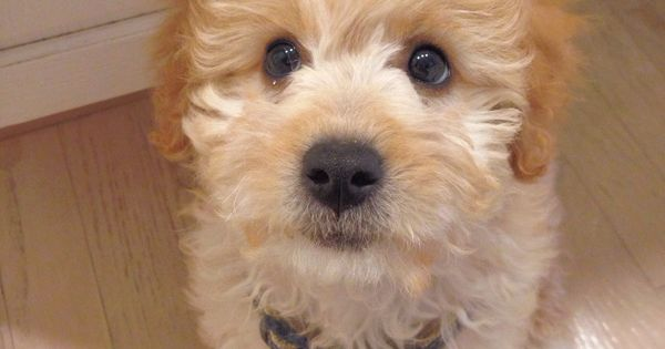 Baby Goldendoodle Cute Boys And Puppies Pinterest