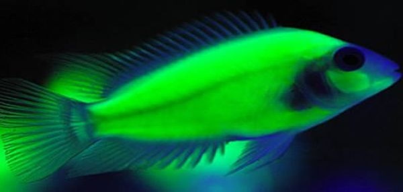Glow In The Dark Fish Fish Nightlights Glow Fish Freshwater Aquarium Fish Cichlid Fish