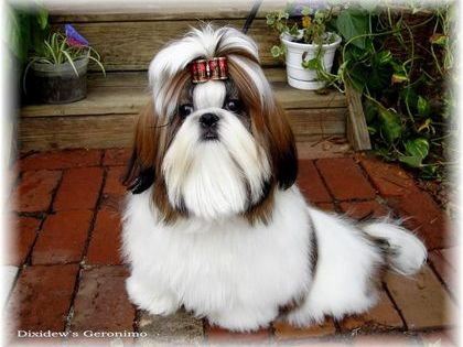 Red White Geronimo Shihtzu Puppies For Sale By Breeders In Ga Fl