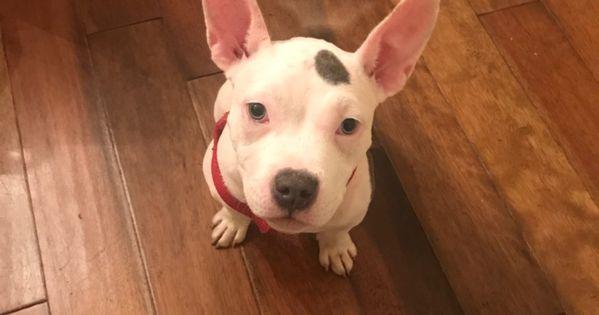 Adopt Sasha Pasha Puddin Pie On Pets Terrier Dogs Terrier