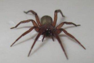 6 Black Widow Spider Bites On Dogs Black Widow Spider