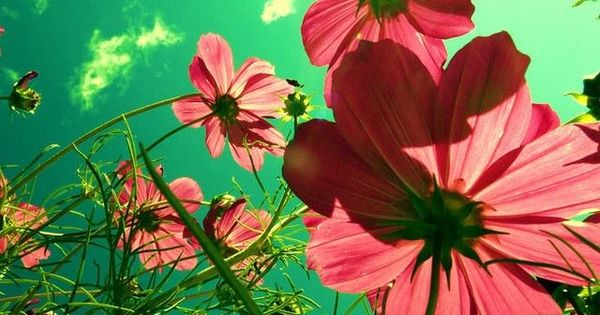 Stunning colour and angle of these beautiful cosmos