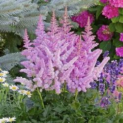 Chinese Astilbe Vision False Spirea Vision False Goat S Beard Vision Astilbe Vision In Pink Astilbe Vision In R Flower Garden Astilbe Shade Garden