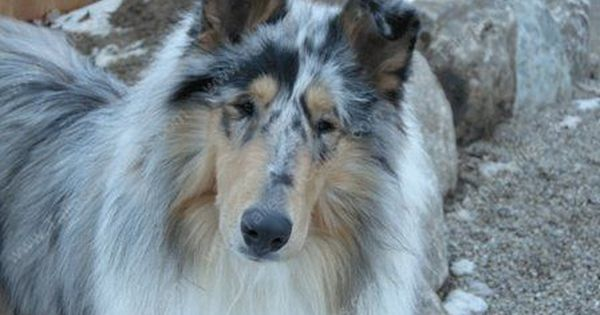 Blue Merle Rough Coated Collie Beautiful Collies Come In Smooth Coat And Rough Coat With 3 Recogniz Sheep Dog Puppy Shetland Sheepdog Shetland Sheepdog Puppies