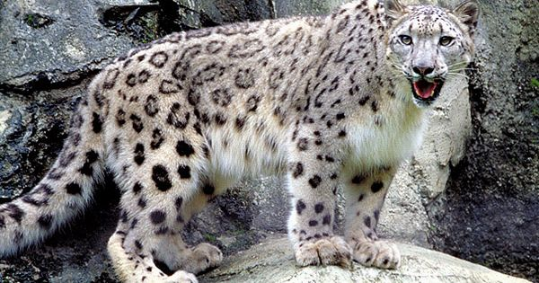 Snow leopards have powerful legs and are tremendous ...