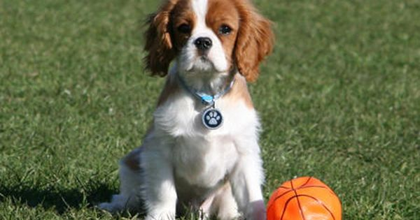 Pin By Tracey Riess On Cavaliver King Charles King Charles Cocker Spaniel Cavalier King Charles King Charles Spaniel