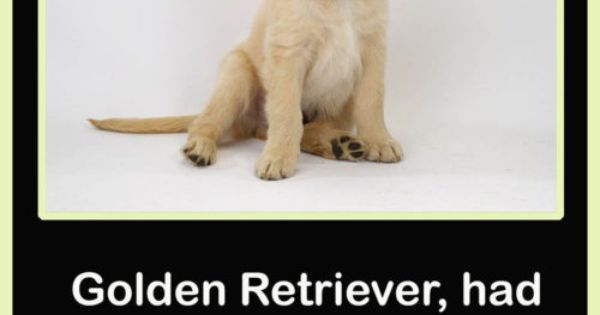 Golden Retriever For Sale Joke cute animals dogs adorable jokes dog puppy