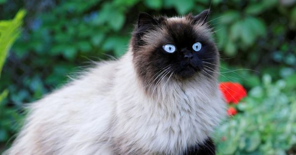 Download Wallpapers Birman Domestic Cat Breed Beige Fluffy Cat Pets Cute Animals Cats Besthqwallpapers Com Races De Chats Animales Animaux De Compagnie