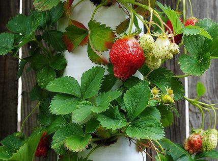 vertical edible gardening--- Vertical strawberries in PVC pipe