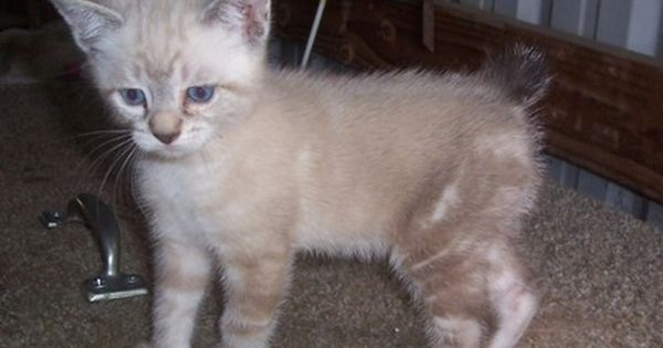 Manx Kittens Is A Female Manx Kitten For Sale In Dairy Or Cats