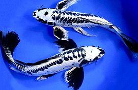 The Butterfly Koi Story Blue Ridge Koi Goldfish Butterfly Koi Koi Fish Koi