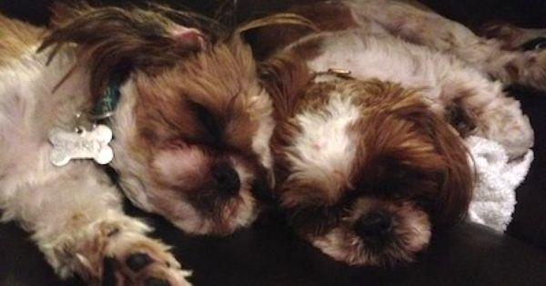 Shih Tzu Information And Pictures Shih Tzus Shih Tzu Dogs Hugging Shih Tzu Dog