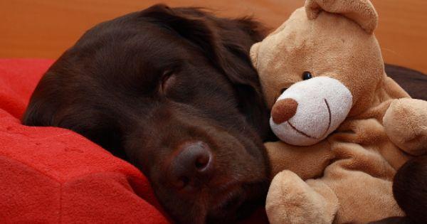 12 Reasons Labradors Have Stolen Our Hearts Http Www Thelabradorsite Com 12 Reasons Labradors Have Stol With Images Labrador Retriever Labrador Golden Labrador Puppies