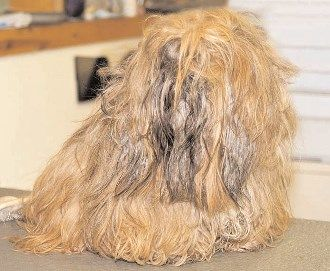 Brushing A Shih Tzu Coat Tricks Of The Trade Dog Grooming Tips Matted Dog Hair Matted Hair