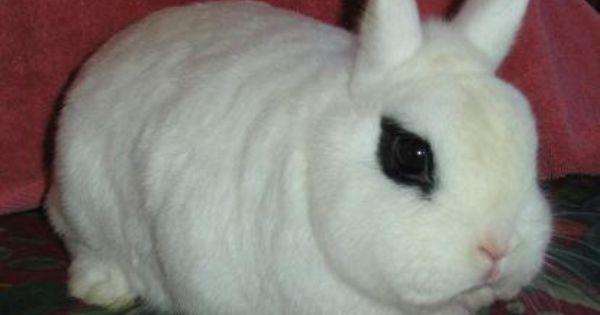 Dwarf Hot Tot Dwarf Hotot Pet Rabbit Rabbit Breeds