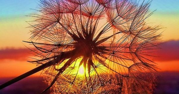 Dandelion in the sunset in Tuscany, Italy = Beautiful photo ~
