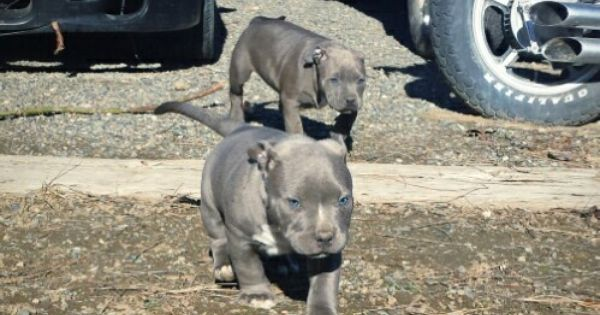 Pitbull Puppies For Sale 1500 With Papers In Washington State Message Me For Any Questions Pitbull Puppies Puppies Pitbull Puppies For Sale