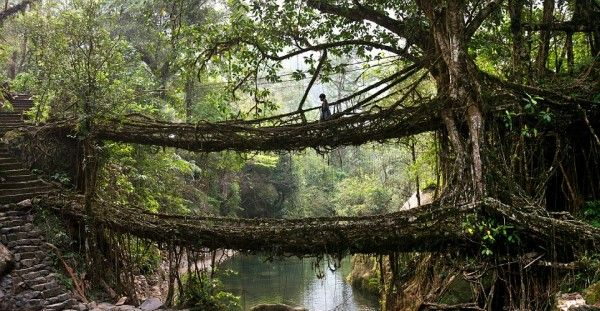 Double Decker living tree root bridge, Meghalaya, India The living bridges of