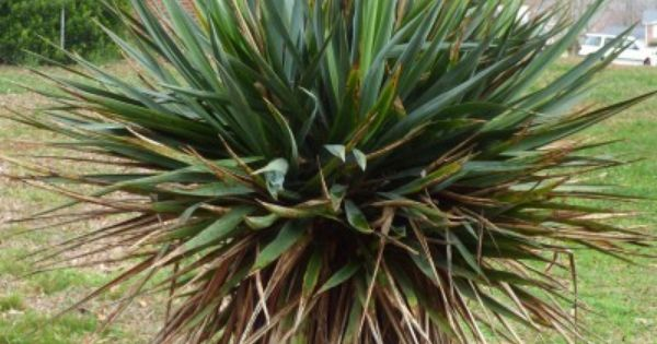 Yucca Plant Leaves Turning Brown – Caring For A Yucca ...