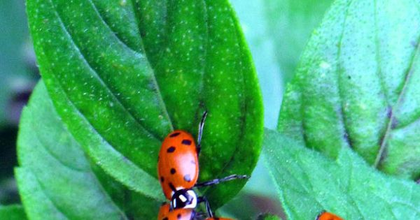 Got Ladybugs Heres Why And A Tipsy Hint On Growing