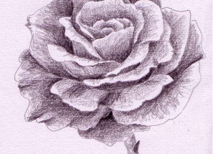 rose zeichnen schritt f r schritt zeichnungen pinterest rose gezeichnet zeichnen schritt. Black Bedroom Furniture Sets. Home Design Ideas