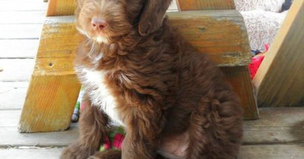 Aussiedoodle Australian Shepherd Poodle Mix Info Puppies