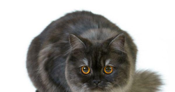 Rasy Kotow Rasa Kotow Katalog Ras Kot Brytyjski Dlugowlosy Animals Cats