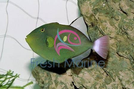 Pinktail Trigger Fish Melichthys Vidua Pink Tail Trigger Buy Cheap Hawaii Triggerfish At Wholesale Cheap Hawaii Cool Fish Fish