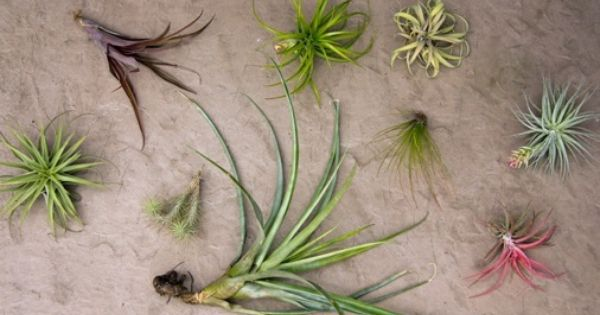 How to care for your tillandsias aka air plants no soil for Plants that are easy to maintain