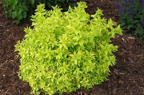 Ornamental Grasses Victoria Bc : Spiraea mini sunglo bumalda an