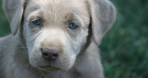Silver Lab Puppy.. I Want!!!