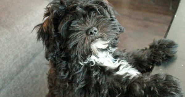 Chewy The Shih Tzu Mix Animales Perros
