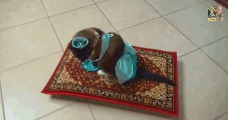Below Is A Gif Of A Cat Dressed As Princess Jasmine From Aladdin Riding On A Magic Carpet Roomba That S All It Is And Oh Boy Is It Something Cat