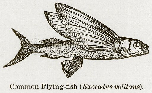 tropical fish marine animal ocean life beach print c original antique print exocetus volitans 1845 FLYING FISH ENGRAVING