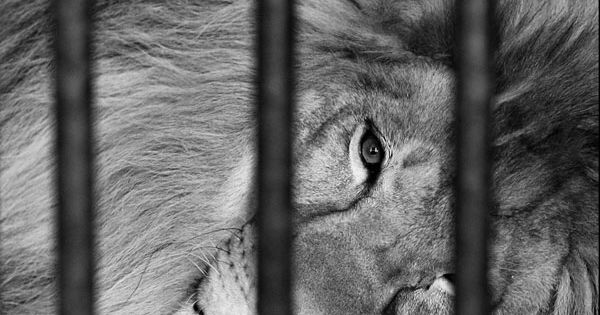 Sadness animals lion