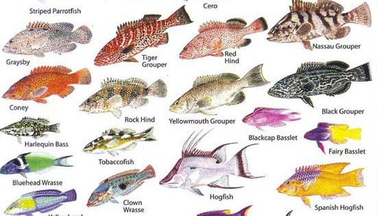 Eleuthera bahamas reef fish and diving in harbour island for Edible hawaiian fish