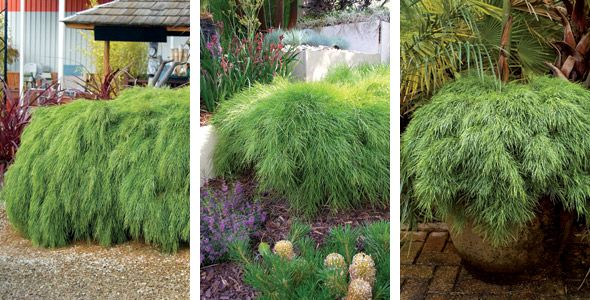 Plants Management Australia Acacia 39 Limelight 39 Water Features In The Garden Plants Commercial Landscaping
