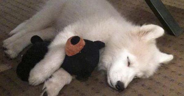 Wesley The Samoyed Samoyed Puppy Baby Animals Samoyed