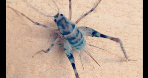 camel cricket animals pinterest cricket insects and animal