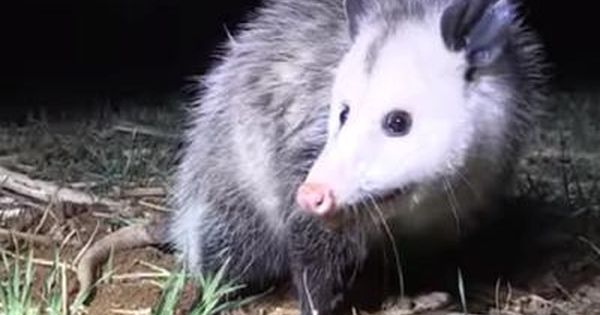Ontario Possum This Morning While Sitting On My Deck Sipping Coffee I Spotted A Possum Slipping Under My Neighbour S Fence It Possum Animals Mississauga