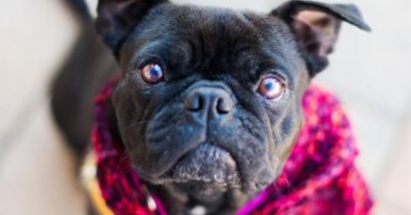 Mae Belle - Boston Terrier/Pug Mix - Available for ...