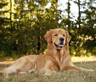 Golden Retrievers Are Among The Most Popular Dogs In America