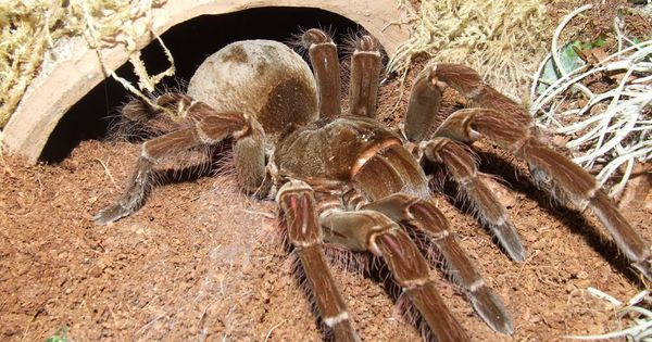 Dozen of the scariest creatures you have ever seen giant huntsman spider large spiders and - Araignee dans la chambre ...