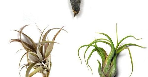 tillandsia air plants from air plant supply co greens pinterest beautiful creative. Black Bedroom Furniture Sets. Home Design Ideas
